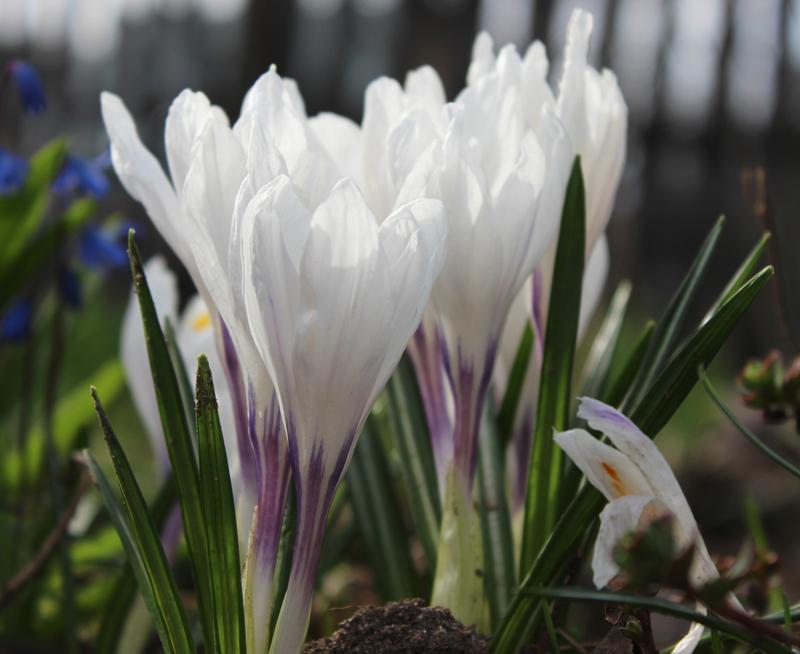 Цветы белые