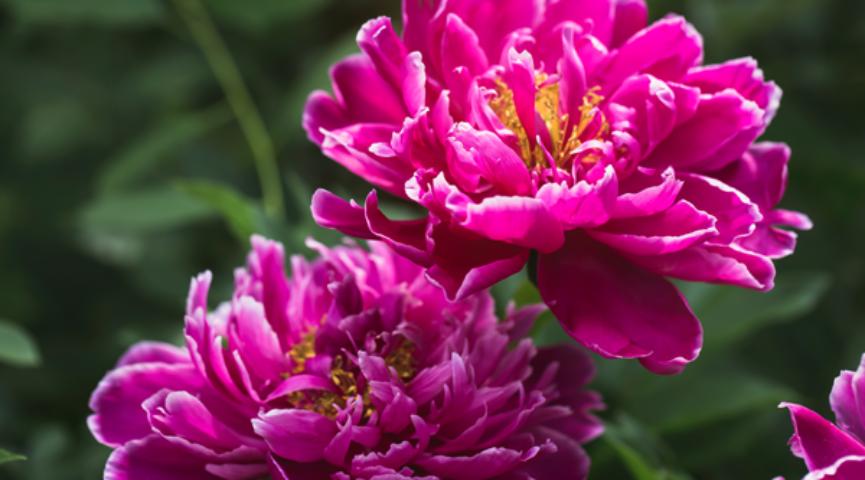 Пионы цветы: всё о них (69 фото), садовые, дикие, травянистые и древовидные