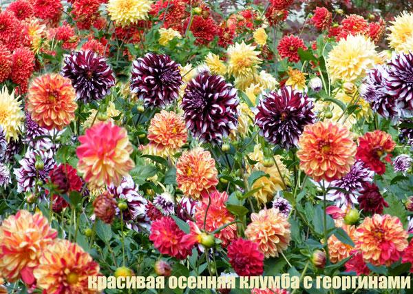 георгины разных цветов осенью